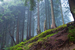 杉树在森林里在一个有雾的早晨 库存图片