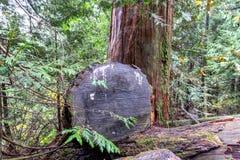 杉树在森林里,温哥华加拿大2016年10月 库存照片