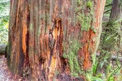 杉树在森林里,温哥华加拿大2016年10月 免版税库存图片