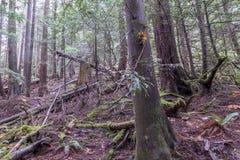 杉树在森林里,温哥华加拿大2016年10月 免版税库存照片