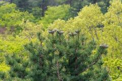 杉树在森林里 免版税图库摄影
