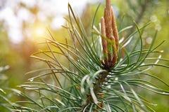 年轻杉树在森林里 免版税图库摄影