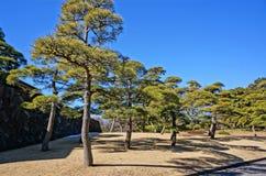 杉树在皇家庭院里 免版税库存图片