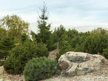 杉树在秋天公园 免版税库存照片
