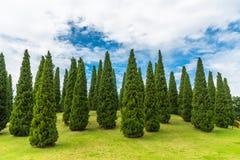 杉树在蓝天背景的庭院里 库存图片