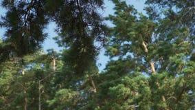 杉树在风暴日 股票视频
