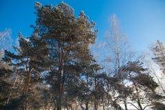 杉树在冻结冬天森林里 免版税库存图片