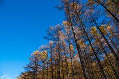 杉树在Kamikochi的秋天 免版税图库摄影