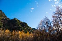 杉树在Kamikochi的秋天 库存图片