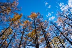杉树在Kamikochi的秋天 图库摄影