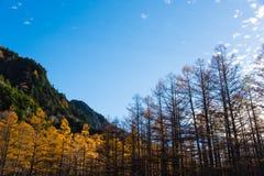 杉树在Kamikochi的秋天 库存照片