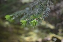 杉树大树枝 库存照片
