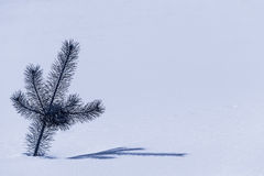 杉树小树枝  免版税库存图片