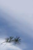杉树小树枝  免版税图库摄影