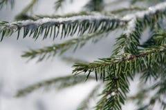 杉树小树枝  库存图片