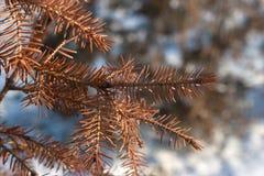 杉树干燥特写镜头针 免版税库存图片