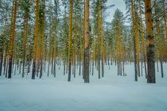 杉树惊人的室外看法连续在户外的完善的同步,在用雪和冰包括的冬天期间 免版税库存图片