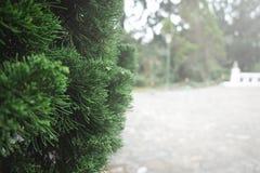 杉树或杉木分支关闭  免版税库存图片