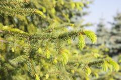 杉树新的绿色针 免版税库存照片