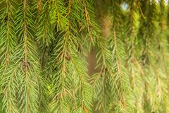 杉树早午餐关闭 圣诞节墙纸概念 免版税库存照片