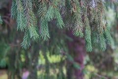 杉树早午餐关闭 圣诞节墙纸概念 库存图片