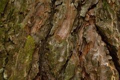 杉树有趣的纹理的吠声 免版税图库摄影