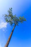 杉树有bluesky背景 库存照片