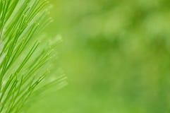 杉树枝杈 针修剪 免版税库存图片