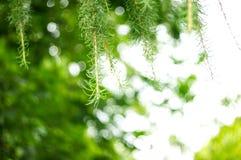 杉树枝杈 免版税图库摄影