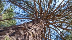 杉树树干在查寻对天空的森林里 库存照片