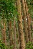 杉树树干,一个森林的细节在富兰德 免版税库存照片