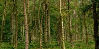 杉树树干,一个绿色春天森林的细节在富兰德 图库摄影