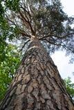杉树树干  免版税库存照片