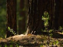 杉树树苗点燃了与明亮的太阳在森林里 库存图片
