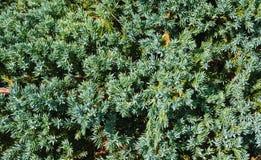 杉树棘手的分支的背景  库存照片
