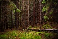 杉树森林和绿色青苔的照片 喀尔巴阡山脉的mountai 库存图片