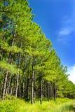 杉树森林和蓝天画象 库存照片