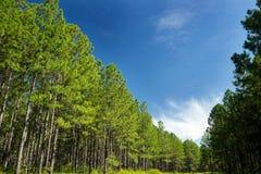 杉树森林和蓝天 免版税库存照片
