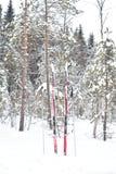 杉树森林在冬天 免版税库存图片