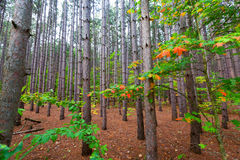 杉树森林-睡觉熊沙丘皮尔斯长袜驱动 免版税图库摄影