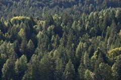 杉树森林 免版税库存图片