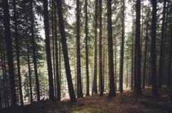 杉树森林 免版税库存照片