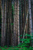 杉树森林 库存图片