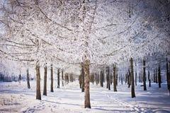 杉树用霜盖了在冬天城市公园 2010年都市风景俄国1月莫斯科冬天 图库摄影