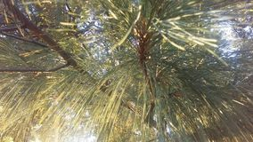 杉树由明亮的日出太阳光的分支光 免版税库存照片