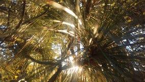 杉树由明亮的日出太阳光的分支光 库存照片