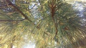 杉树由明亮的日出太阳光的分支光 图库摄影