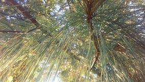 杉树由明亮的日出太阳光的分支光 库存图片