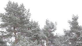 杉树的上面在用雪盖的森林里反对灰色天空 影视素材