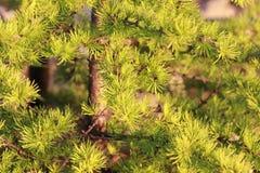 杉树分支 库存图片